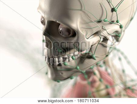 Anatomy illustration of skull showing lymph nodes. 3d illustration