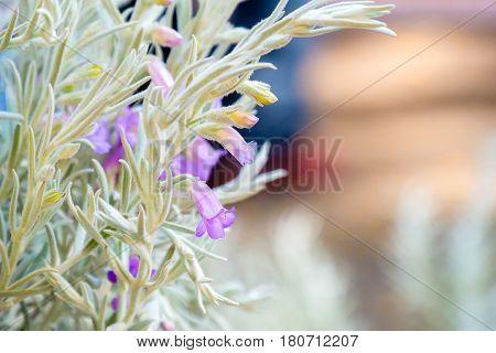 silky eremophila nivea flower purple botany bloom garden green