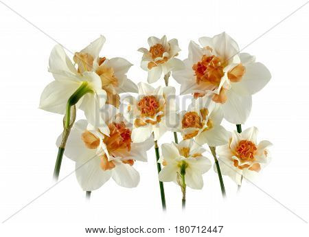 View of Spring Daffodils a white background