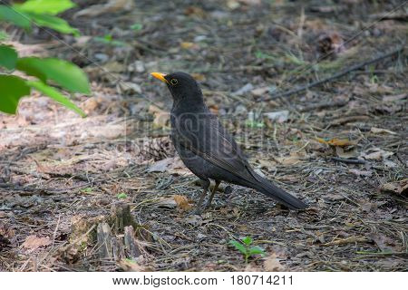 Blackbird with a yellow beak on the ground. Birds