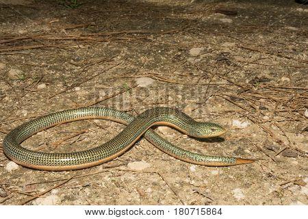 An Eastern Glass Lizard in the wild