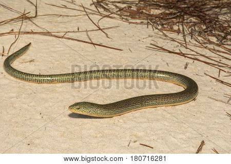 An Eastern Glass Lizard crossing a dirt road in Florida.