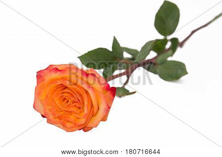 One golden yellow rose on a natural stem with leaves of an orange rose. Isolated on white with clipping path.