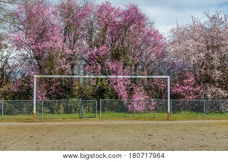 A net-less goal post stands in front of abundant Cherry blossoms in Burien Washington. HDR image.