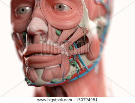 Anatomy face. Muscular, vascular and lymph nodes. 3d illustration