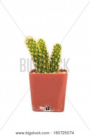 The Single cactus isolated on white background.