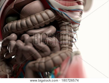 Human digestive system. Anatomy 3d illustration. Intestines.