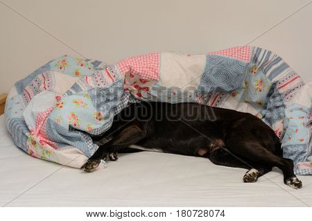 Black dog enjoys lying in the bed of his master