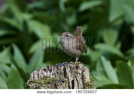 Eurasian wren in its habitat with vegetation in the background