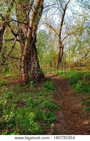 Path at spring shady forest at sunset, Irpen, Ukraine. The first spring green leaves on an old tree