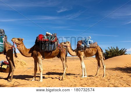 Camels stand with a load, the Sahara desert, Morocco