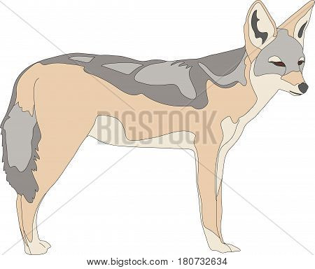 hand drawn portrait of a wild black backed jackal - colored vector Illustration isolated on white background