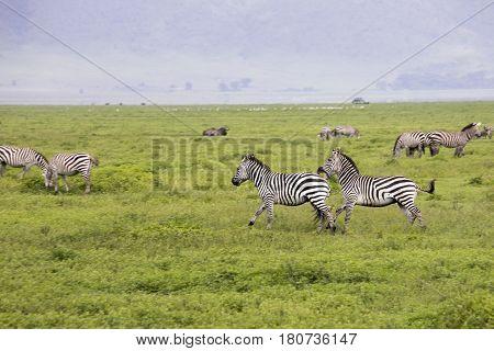 Zebra Fight, Ngorongoro Crater, Tanzania