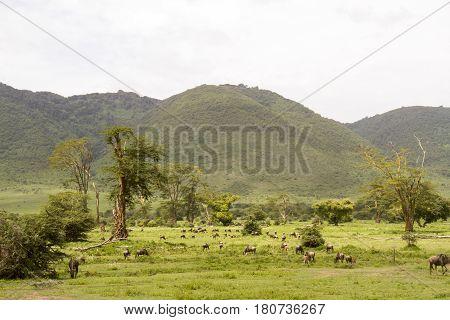 Wildebeest In Landscape Of Ngorongoro Crater, Tanzania