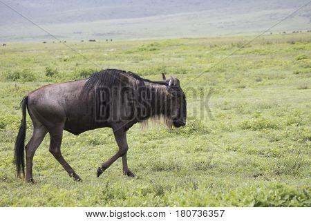 Walking Wildebeest, Ngorongoro Crater, Tanzania