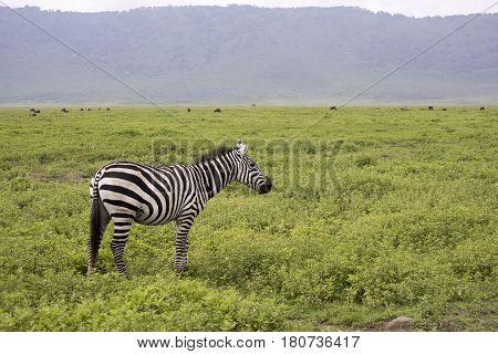 Zebra Standing In Field, Ngorongoro Crater, Tanzania