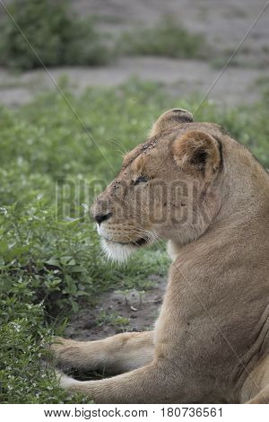 Profile Portrait Of Lioness, Ngorongoro Crater, Tanzania