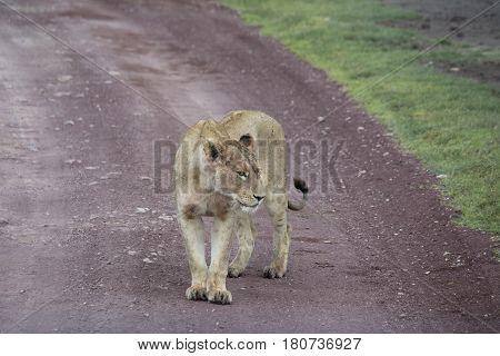 Lioness Standing On Dirt Road, Ngorongoro Crater, Tanzania