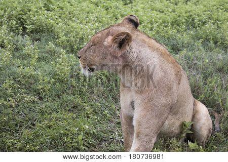 Portrait Of Lioness, Ngorongoro Crater, Tanzania
