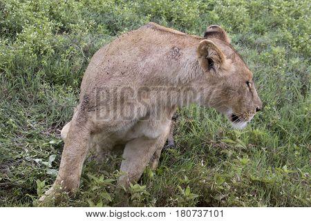 Lioness Profile Ngorongoro Crater, Tanzania