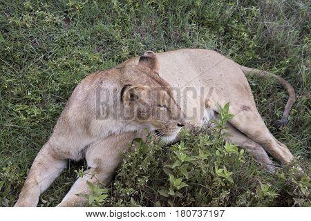 Lioness In Grasses, Ngorongoro Crater, Tanzania
