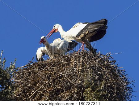 The White Stork is a migratory bird that announces the good weather with its arrival