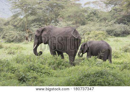 Elephant Grazing With Calf, Ngorongoro Crater, Tanzania