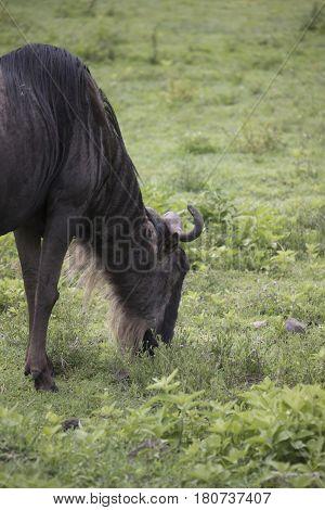 Grazing Wildebeest, Ngorongoro Crater, Tanzania