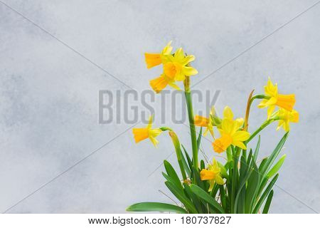 Posy of bright yellow small daffodils on gray background with copy space