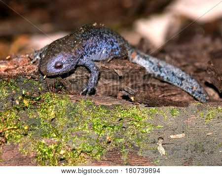 Mole Salamanders (Ambystoma talpoideum) have mottled patterns and can be found throughout the southern United States