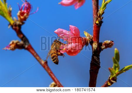Pink Apple Flowers. Beautiful flowering apple trees. Background with blooming flowers in spring day.