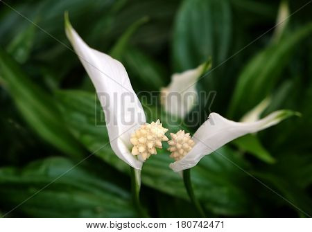 Spathiphyllum is a popular perennial plant of the family of aroid