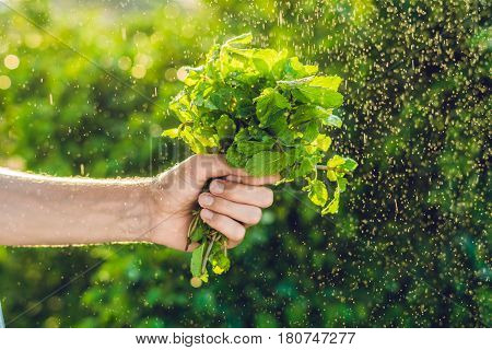 A Bunch Of Mint In Hand And A Splash Of Water Against The Green Background