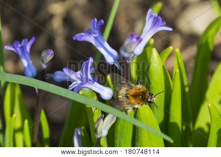 The bumblebee on purple Hyacinth on garden
