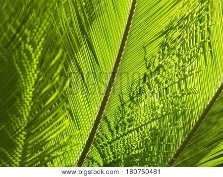 Natural greenery background with texture of palm or fern fronds. Sunlight backlit close-up stock photo.