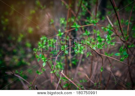 Branch with young green leaves in the background. Blur. Selective focus and shallow depth of field.