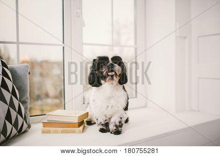 Purebred, Small, Fluffy Dog Shih Tzu Sitting In The Window