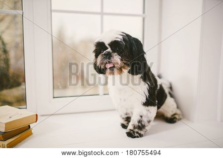 Purebred, Small, Fluffy Dog Shih Tzu Sitting In The Window