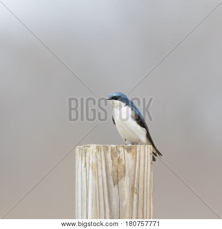 A Tree Swallow (Tachycineta bicolor) a migratory bird, sits on a post in a field in Talbot County Maryland, USA.