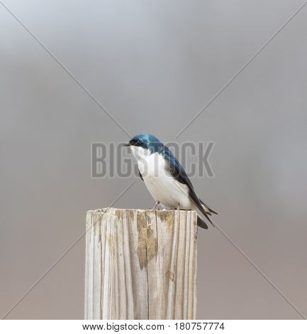 A Tree Swallow (Tachycineta bicolor) a migratory bird, perches on a wodden post in Talbot County Maryland, USA.