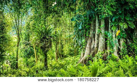 Huge ancient Banyan tree covered by vines in Bali Jungle.