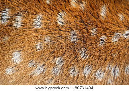 Closeup of the fur of a sika deer