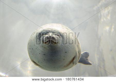 Harbour seal underwater. Front view.
