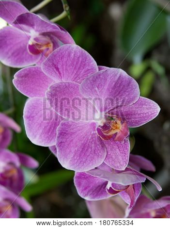 Branch of gorgeous pink phalaenopsis orchid flowers in tropical garden