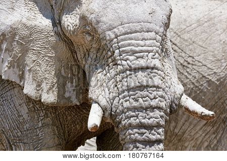 Portrait of a big African elephant photographed in Namibia