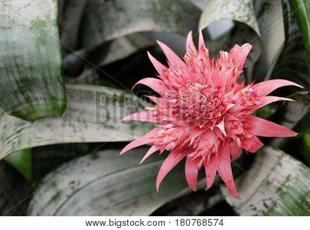 Flowering evergreen exotic epiphyte Billbergia in greenhouse