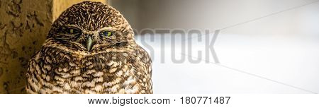 A Burrowing Owl staring down this photographer.
