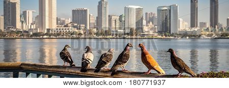 Pigeons sitting on a fence at Centennial Park in Coronado CA.