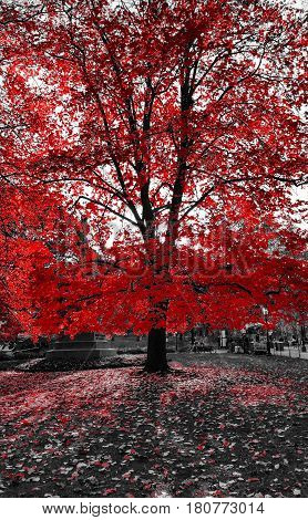 Tall red tree in a black and white landscape in Central Park New York City
