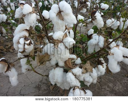 Cotton plant in the raw and in full bloom.  Big white cotton puffs still attached to the plant.  Photographed in Arkansas